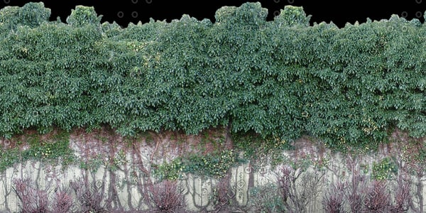 H025 ivy hedge wall