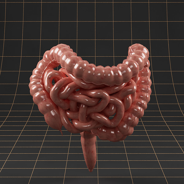 3d colon small intestine model
