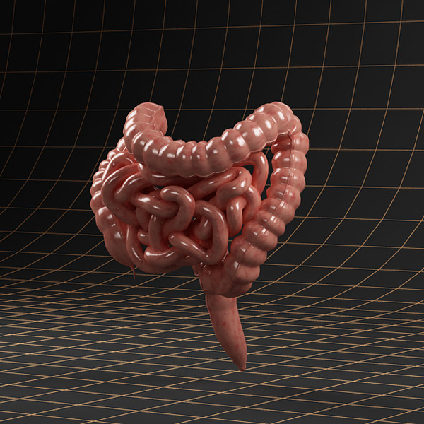 3d colon small intestine model - Anatomy_intestine... by ArtStudio3d
