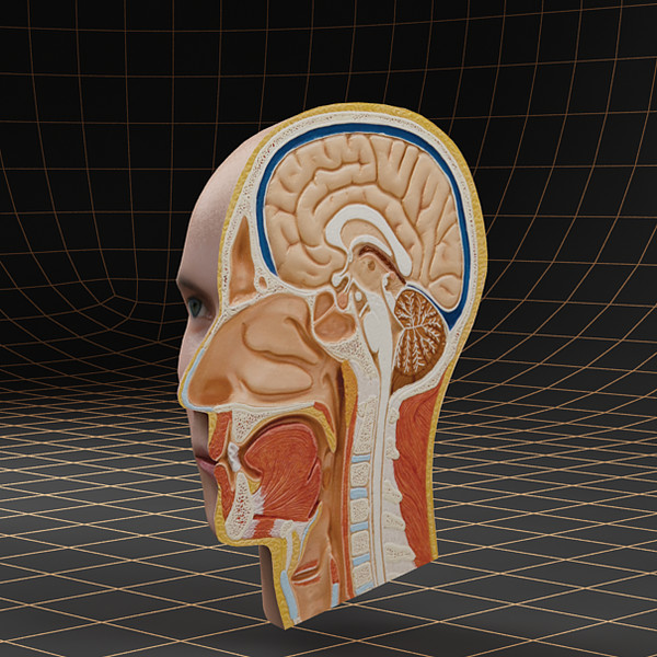 head cutaway 3d model - Anatomy_head_cutaway... by bihoreanul