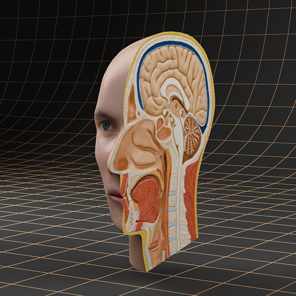 head cutaway 3d model - Anatomy_head_cutaway... by ArtStudio3d