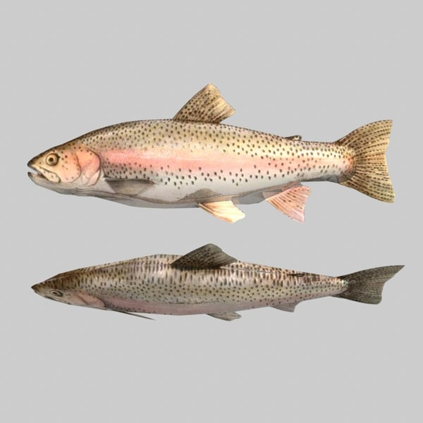 Fish Rainbow Trout