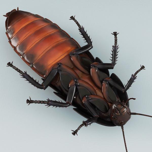 Madagascar Cock Roach