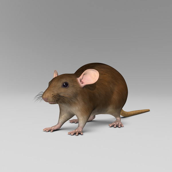 3d model brown rat - Rat ( Brown )... by MotionCow