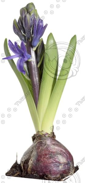 hyacinth 04