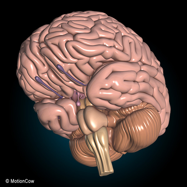 human anatomy nervous brain max - Anatomy, Brain & Nervous System... by MotionCow