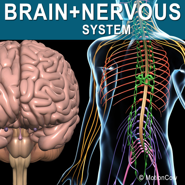 human nervous systems brain 3d model - Brain & Nervous System... by MotionCow