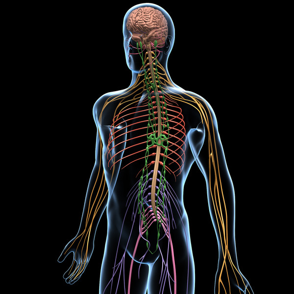 lab 12 the central nervous system Popular central nervous system & physiology videos 108 videos 776 views last updated on oct 28, 2015.