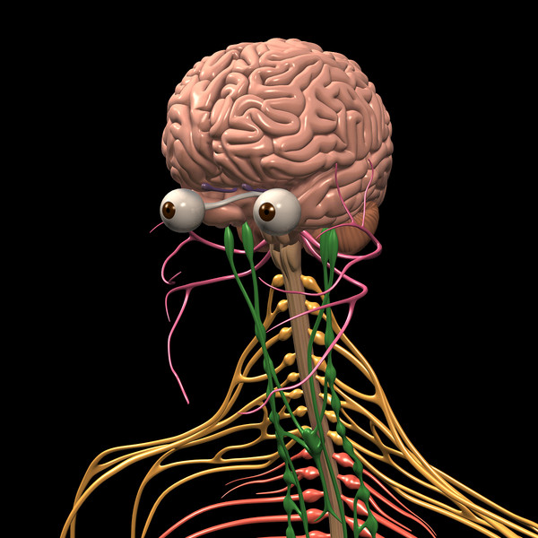the human brain center of the nervous system Human nervous system - the central nervous system: the central nervous system consists of the brain and spinal cord, both derived from the embryonic neural tube both.