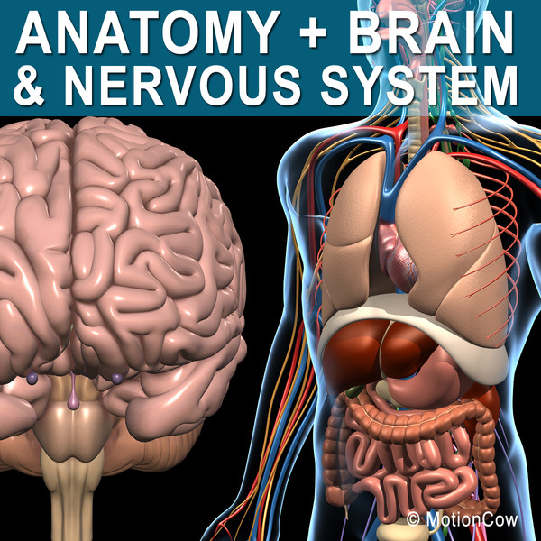 human anatomy nervous brain max