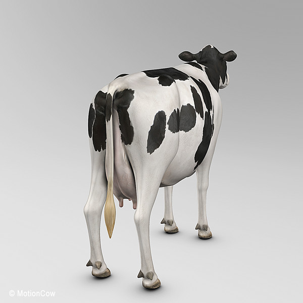 3d animation cow model - Cow... by MotionCow