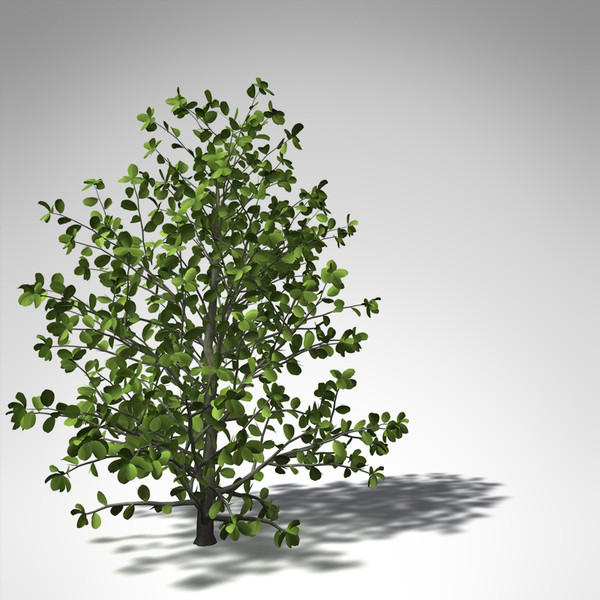 3d model xfrogplants kei apple tree - XfrogPlants Kei Apple... by xfrog