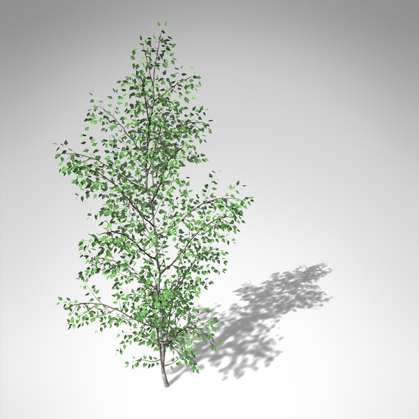 3d xfrogplants grey birch tree model - XfrogPlants Grey Birch... by xfrog
