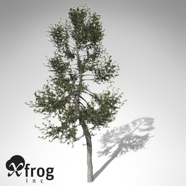 3d model xfrogplants austrian black pine - XfrogPlants Austrian Black Pine... by xfrog