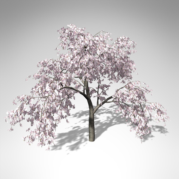 weeping higan cherry tree 3d model - XfrogPlants Blossoming Weeping Higan Cherry... by xfrog