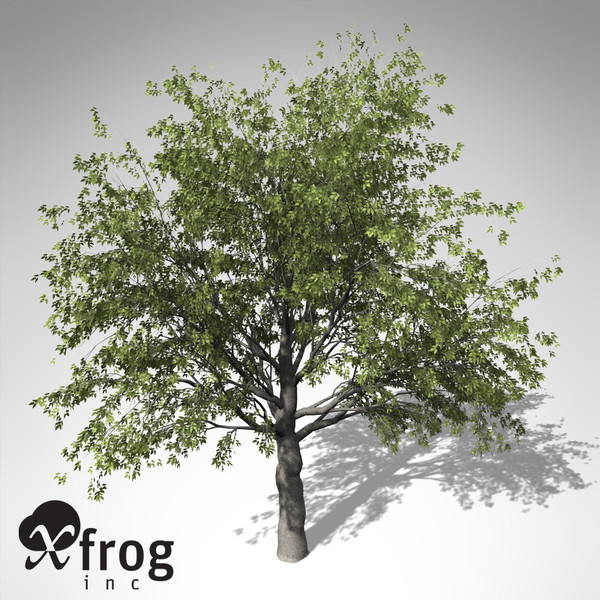 xfrogplants european hackberry tree 3d 3ds - XfrogPlants European Hackberry... by xfrog