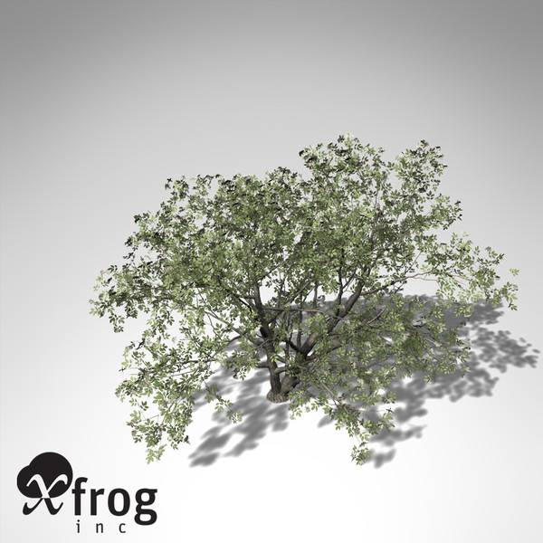 3d xfrogplants elderberry tree plant - XfrogPlants Elderberry... by xfrog