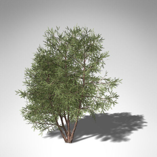 3d model xfrogplants english yew tree - XfrogPlants English Yew EU... by xfrog