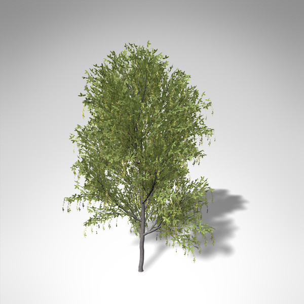 3ds max xfrogplants alpine laburnum tree - XfrogPlants Alpine Laburnum... by xfrog