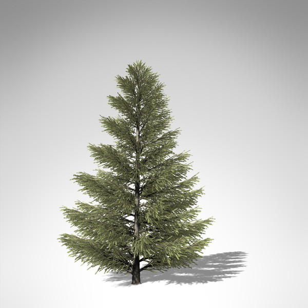 3d model xfrogplants silver fir tree - XfrogPlants Silver Fir... by xfrog