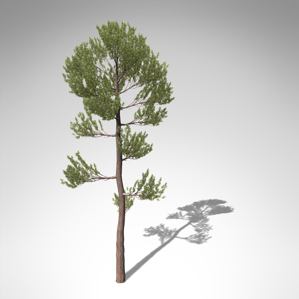 xfrogplants scotch pine tree 3d model - XfrogPlants Scotch Pine... by xfrog