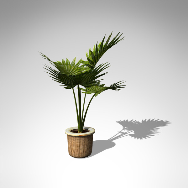 3d model xfrogplants miniature chusan palm - XfrogPlants Miniature Chusan Palm... by xfrog