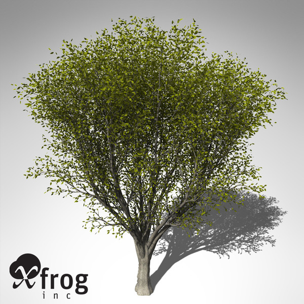 maya xfrogplants japanese zelkova tree - XfrogPlants Japanese Zelkova... by xfrog