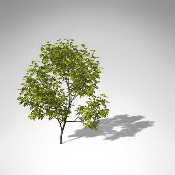 3d model xfrogplants manna ash tree - XfrogPlants Manna Ash... by xfrog