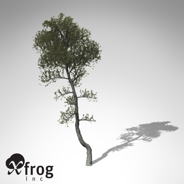 aleppo pine tree 3d model - XfrogPlants Aleppo Pine... by xfrog