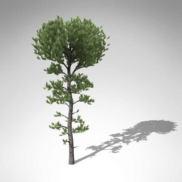 3d xfrogplants sea pine tree model - XfrogPlants Sea Pine... by xfrog