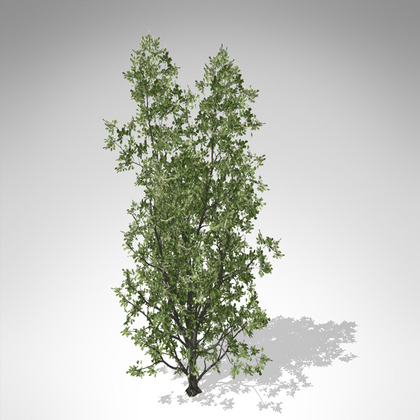 xfrogplants common hawthorn plant 3d model - XfrogPlants Common Hawthorn... by xfrog