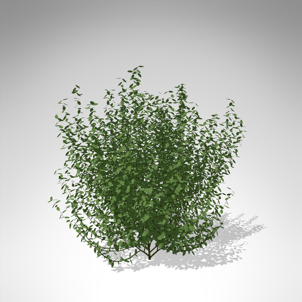 3d xfrogplants common privet plant - XfrogPlants Common Privet... by xfrog
