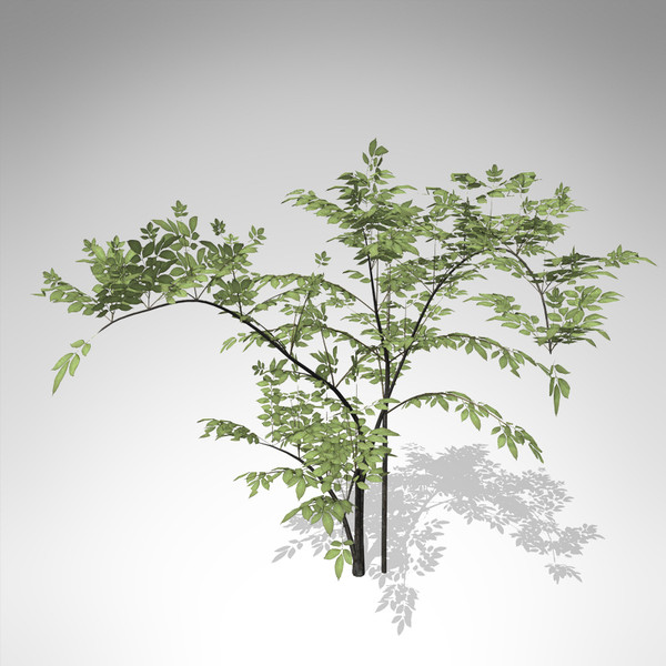 xfrogplants elderberry plant 3d 3ds - XfrogPlants Elderberry... by xfrog