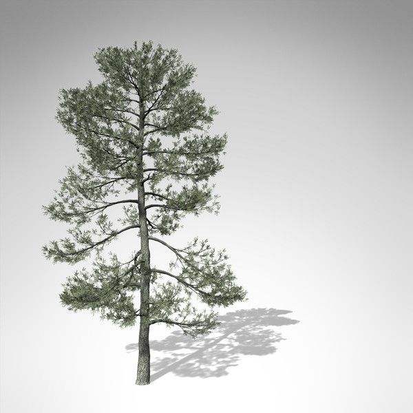 3d model xfrogplants bishop pine tree - XfrogPlants Bishop Pine... by xfrog