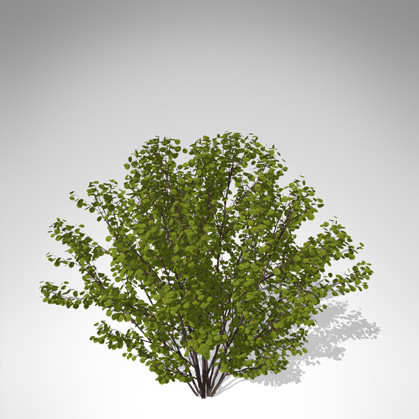 xfrogplants hazel shrub tree plant 3d model - XfrogPlants Hazel... by xfrog
