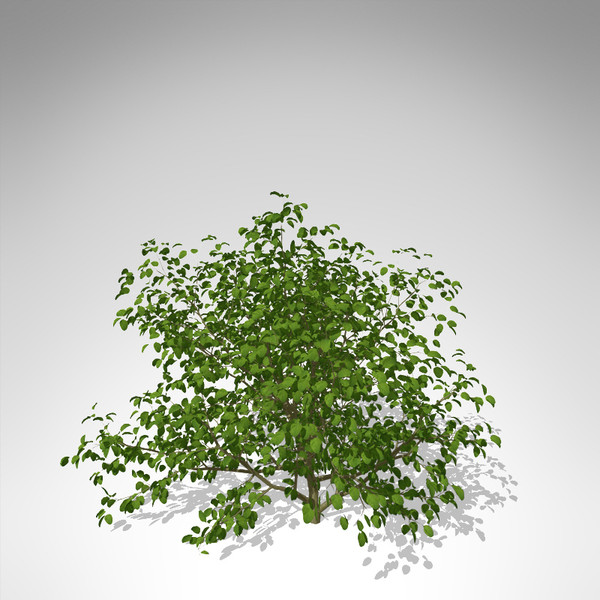 3d model xfrogplants european buckthorn europe - XfrogPlants European Buckthorn... by xfrog