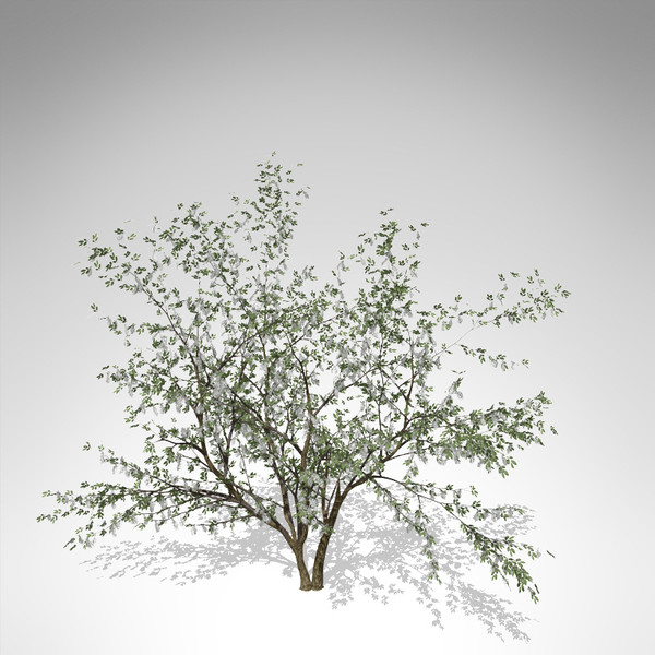 3d xfrogplants european bird-cherry europe - XfrogPlants European Bird-cherry... by xfrog