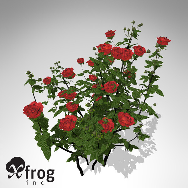 maya xfrogplants hundred-leaved rose - XfrogPlants Hundred-leaved Rose... by xfrog