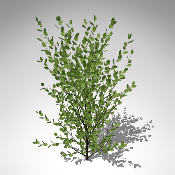 xfrogplants grey willow plant 3d model - XfrogPlants Grey Willow... by xfrog