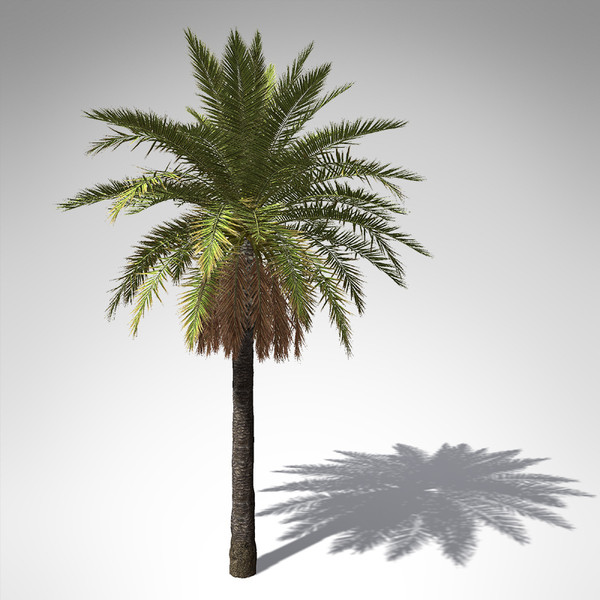 canary date palm plant 3d model - XfrogPlants Canary Date Palm... by xfrog