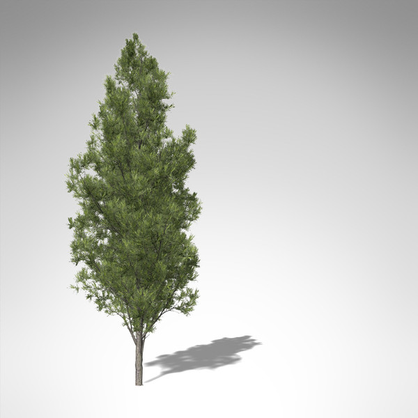 xfrogplants eastern white pine 3d max - XfrogPlants Eastern White Pine... by xfrog