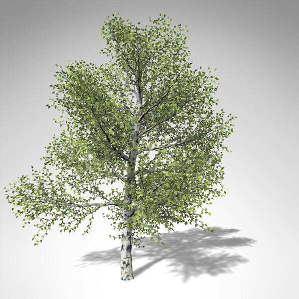 3d model xfrogplants paper birch tree - XfrogPlants Paper Birch... by xfrog