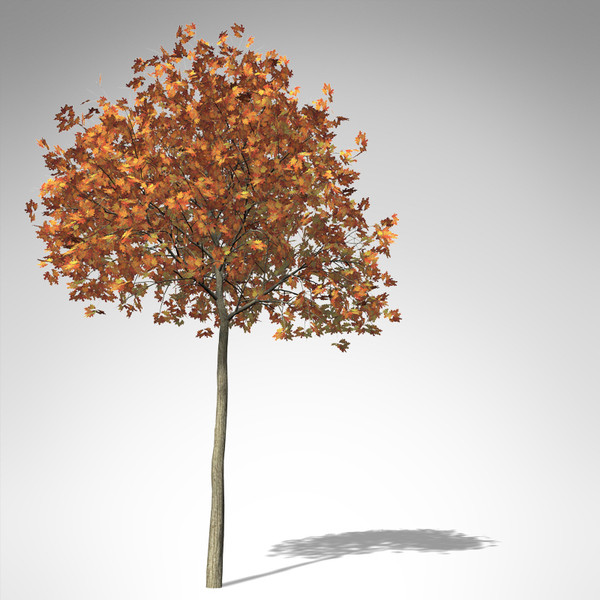 3d model of xfrogplants red oak tree - XfrogPlants Red Oak... by xfrog