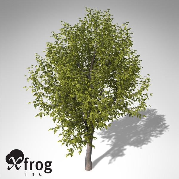 xfrogplants oregon ash tree 3ds - XfrogPlants Oregon Ash... by xfrog
