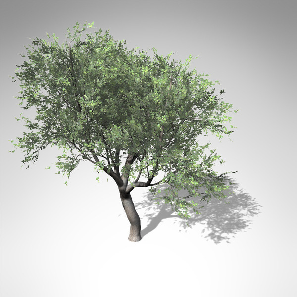 coast live oak tree 3d model - XfrogPlants Coast Live Oak... by xfrog