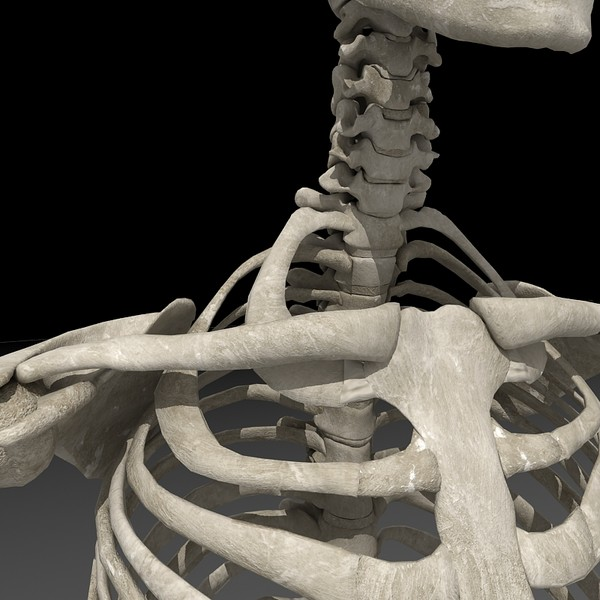 c4d anatomical male skeleton - Anatomical Male Skeleton... by Imagework