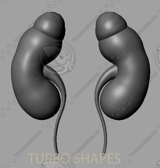 kidney 3d model - kidney... by SUPER_3D