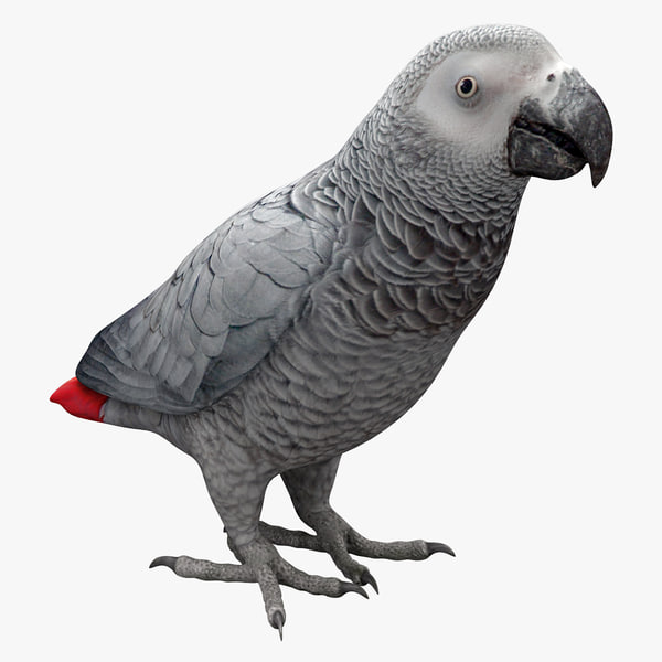 max african grey parrot