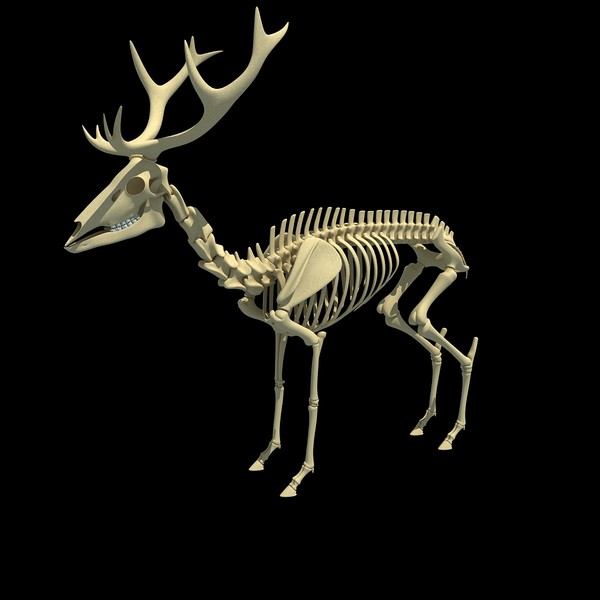 deer skeleton 3d model - Deer Skeleton... by Gandoza