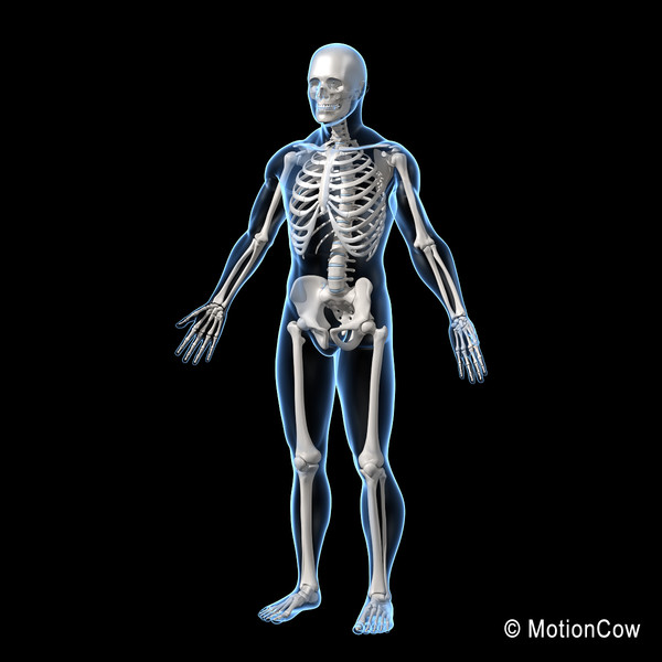 3ds max human skeletal rigged skeleton - Human Skeleton ( Rigged )... by MotionCow